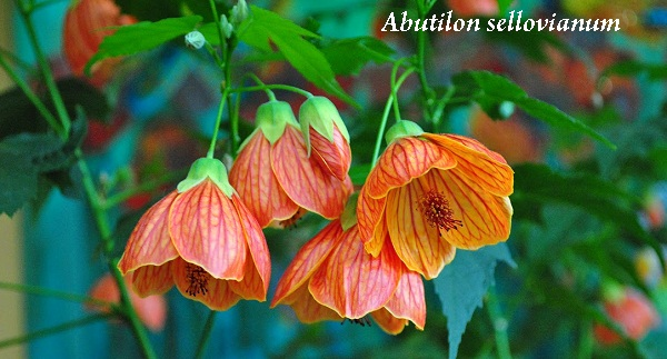 abutilon_sellovianum.jpg (90.33 Kb)