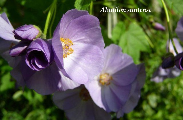 abutilon_suntense.jpg (73.8 Kb)