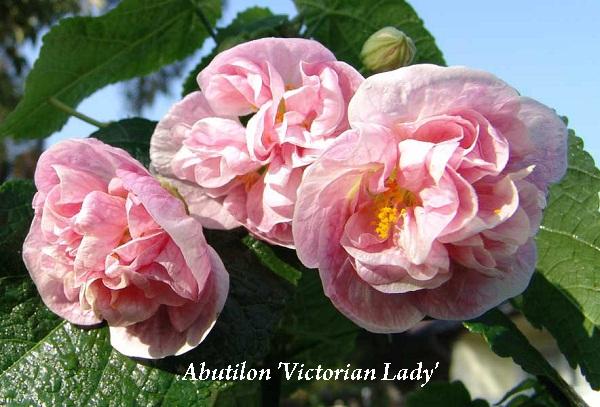 abutilon_victorian_lady.jpg (104.75 Kb)