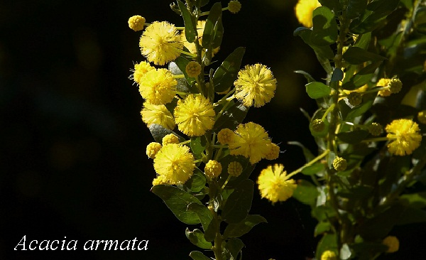 acacia_armata_b.jpg (106.03 Kb)