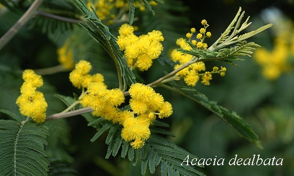 acaciadealbata_1.jpg (80.01 Kb)