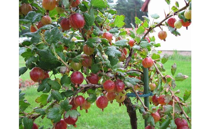 Як виростити та як посадити аґрус на штамбі