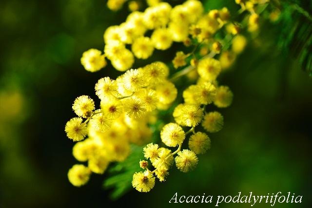 akaciya_podarulifoliya.jpg (73.83 Kb)