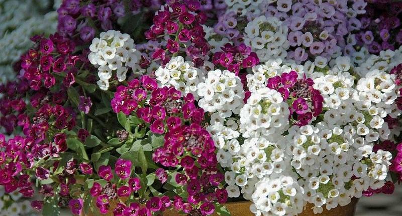 Аліссум: вирощування, висаджування, догляд