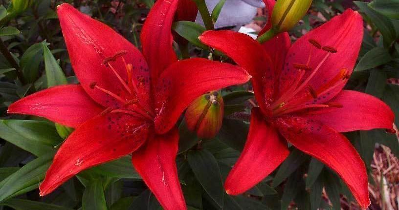 american_hybrid_lilies11.jpg (50.89 Kb)