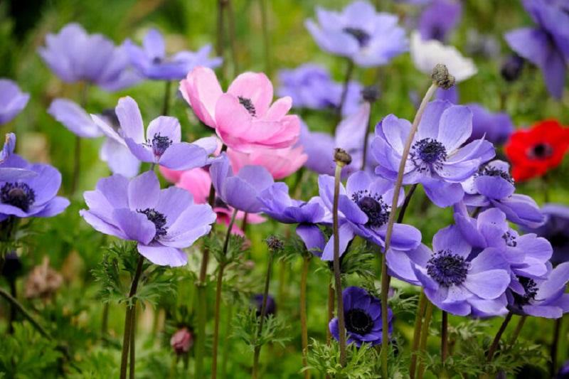 anemone-1.jpg (140.33 Kb)