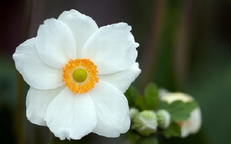 anemoni2.jpg (59.58 Kb)
