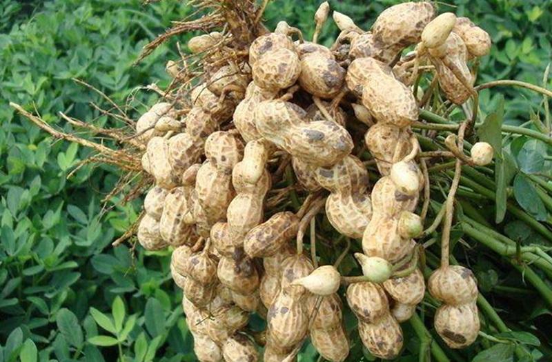 Арахіс - вирощування