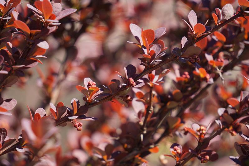 Барбарис звичайний (Berberis vulgaris)
