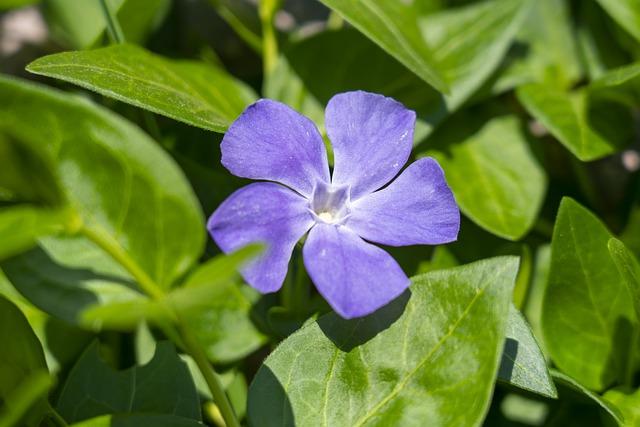 Барвінок малий (Vinca minor L.). Коли збирати і як зберігати