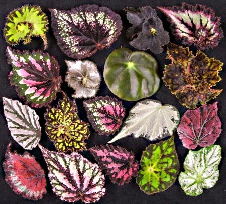 begonia2.jpg (91.64 Kb)