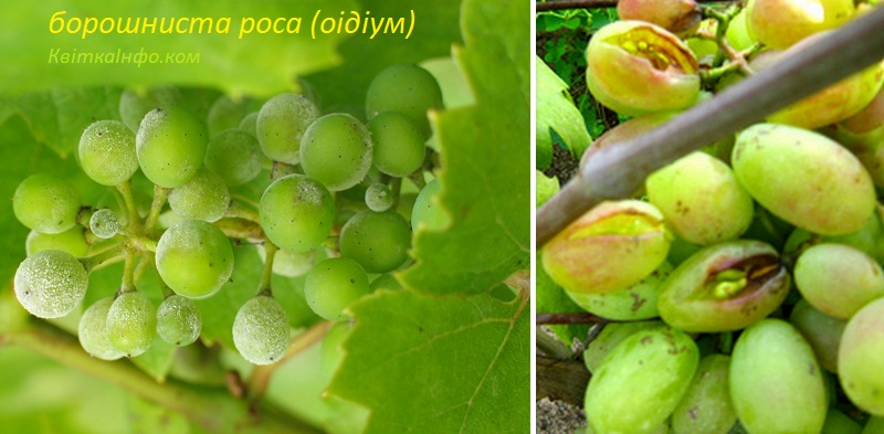 Оїдіум (борошниста роса) винограду