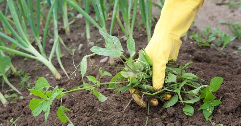 Чисті грядки або як позбутися від бур'янів – поради садівникам