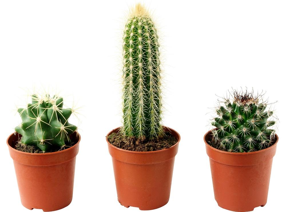 cactus111.jpg (182.02 Kb)
