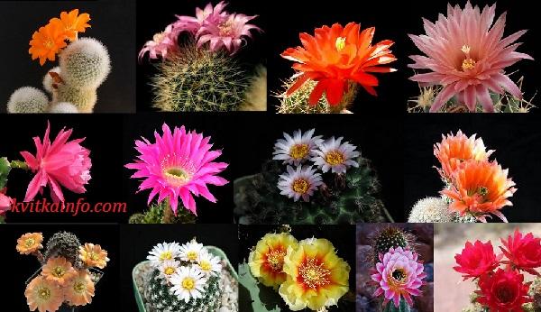 cactus_cvitinnya.jpg (111.82 Kb)