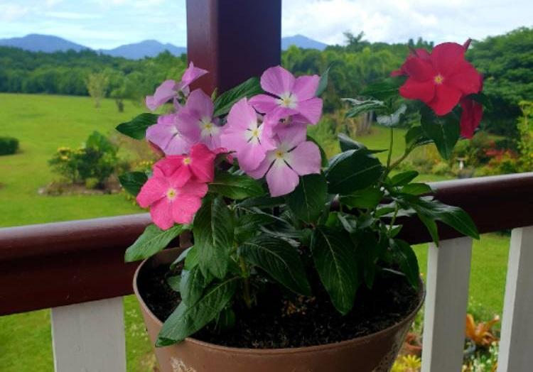 catharanthus-roseus-3.jpeg (100.9 Kb)
