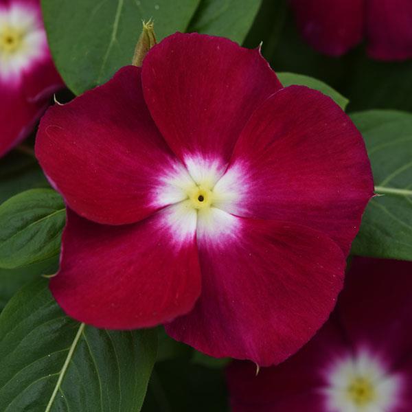 catharanthus-roseus-4.jpg (33.54 Kb)
