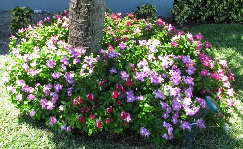 catharanthus-roseus-5.jpg (285.97 Kb)
