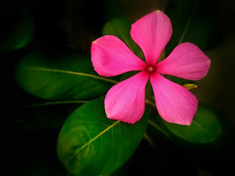 catharanthus-roseus-6.jpg (72. Kb)