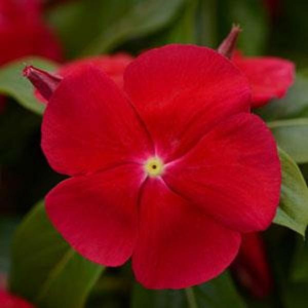 catharanthus-roseus-7.jpg (46.58 Kb)