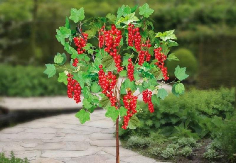 Як виростити та посадити штамбову  смородину, порічку