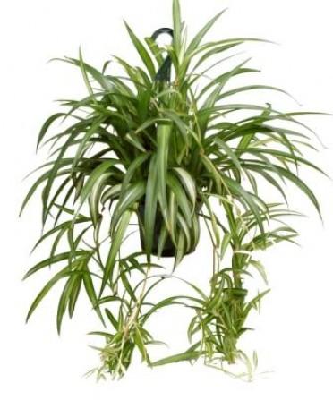 chlorophytum_comosum.jpg (45.7 Kb)