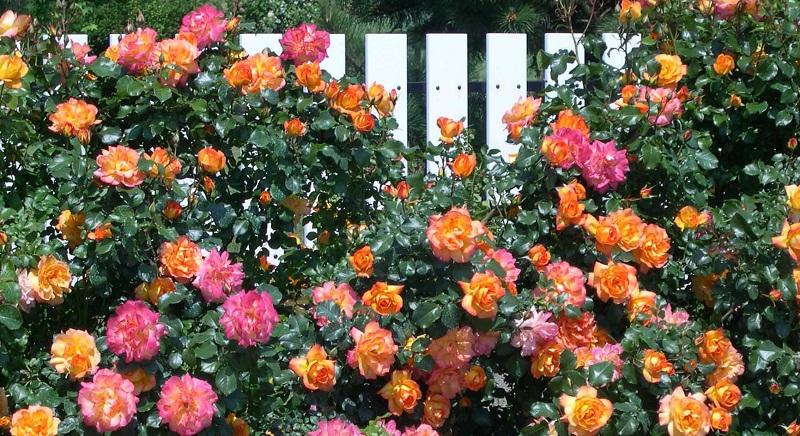 Чому не цвітуть троянди