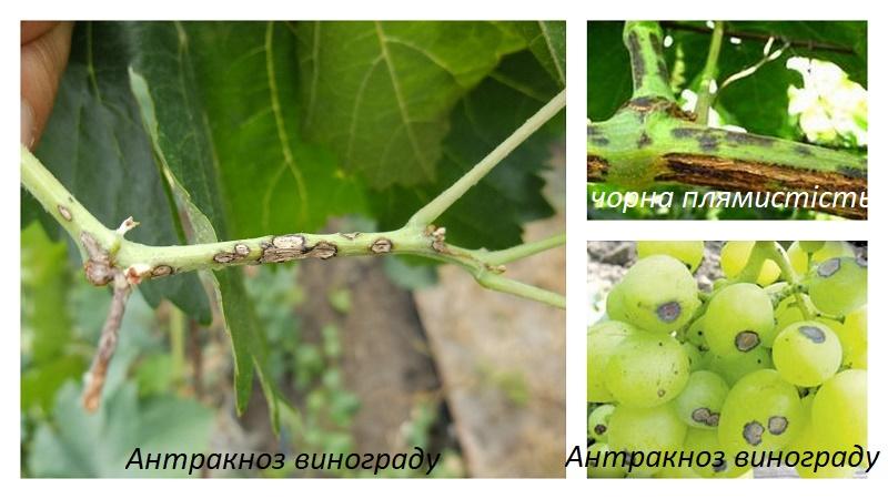 Чорна плямистість на винограді