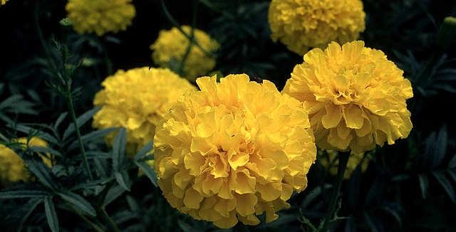 Як доглядати за квітами чорнобривцями