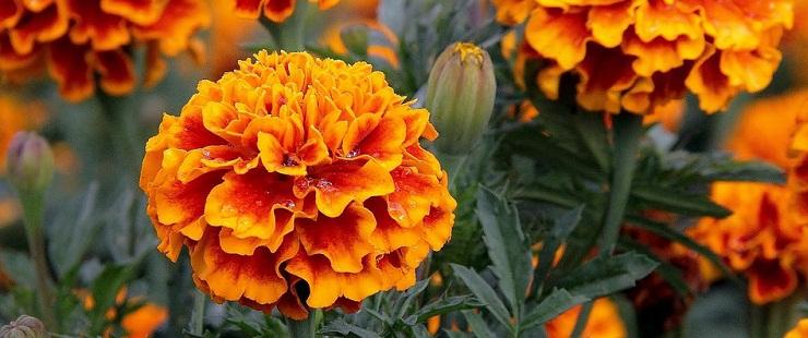 Коли садити квіти чорнобривці