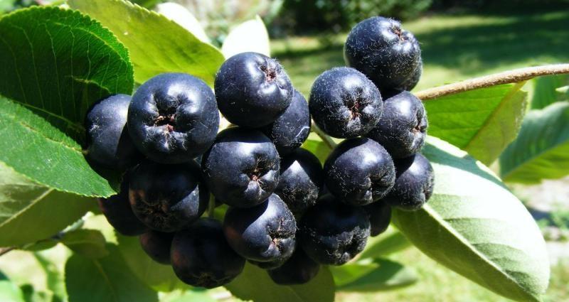 Чорноплідна горобина (аронія) - вирощування, догляд