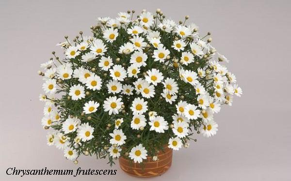 chrysanthemum_frutescens.jpg (91.64 Kb)