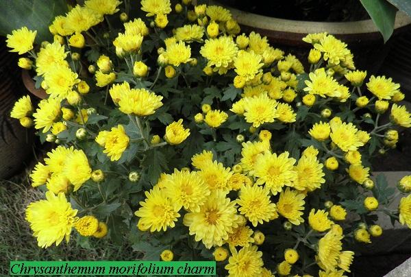 chrysanthemum_morifolium_charm.jpg (1.27 Kb)