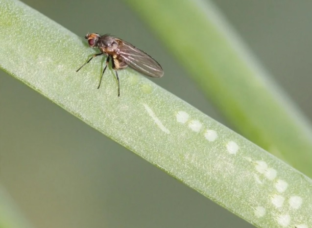 Цибулева муха - ознаки появи, методи боротьби
