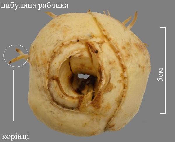 cibulina_ryabchika.jpg (60.66 Kb)