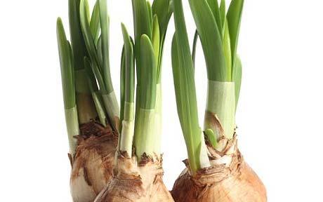 Вегетативне розмноження: розмноження рослин цибулинами