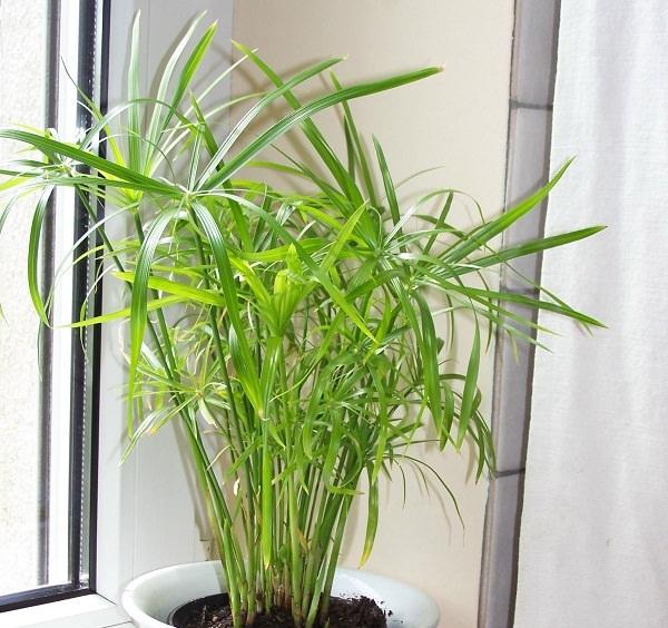 ciperus1.jpg (221.43 Kb)