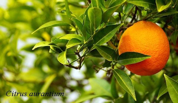 citrus_aurantium1.jpg (88.73 Kb)