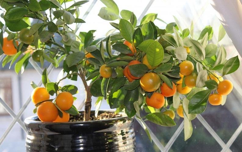 Лимон, мандарин, апельсин: догляд