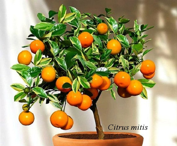 citrus_mitis.jpg (116. Kb)