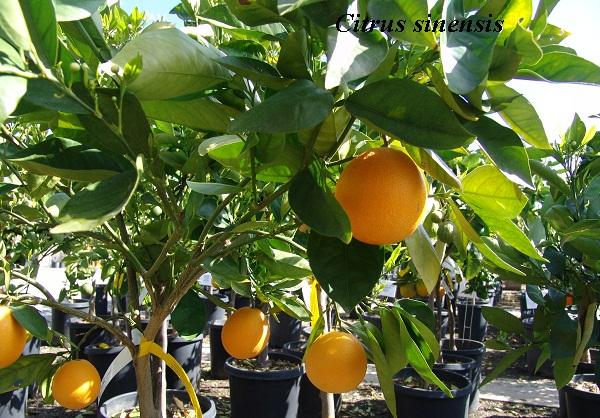 citrus_sinensis.jpg (165.13 Kb)