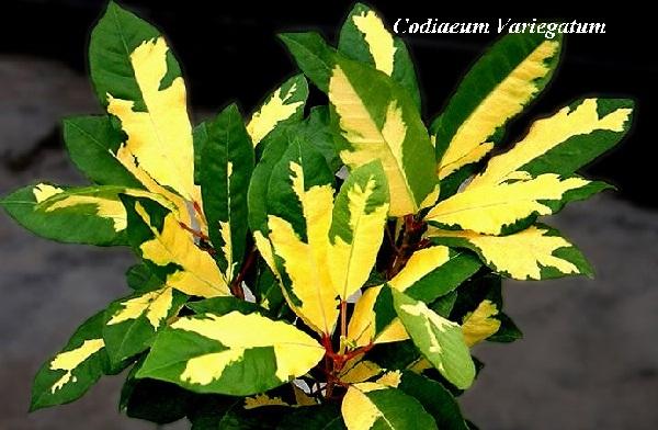 codiaeum__variegatum.jpg (100.62 Kb)