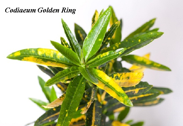 codiaeum_golden_ring.jpg (74.64 Kb)