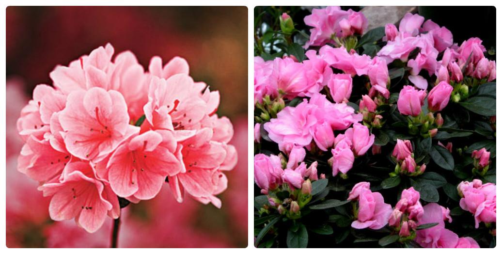 collage_azaliya2.jpg (177.25 Kb)