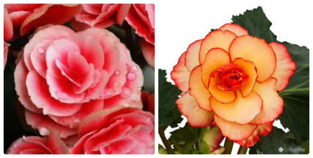 collage_begoniya5.jpg (130.83 Kb)