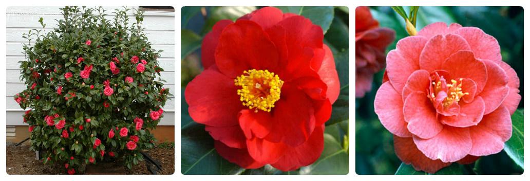 collage_camellia-adolphe_audusson.jpg (140.1 Kb)