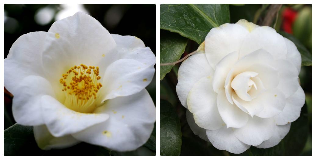 collage_camellia_alba_simplex.jpg (101.17 Kb)