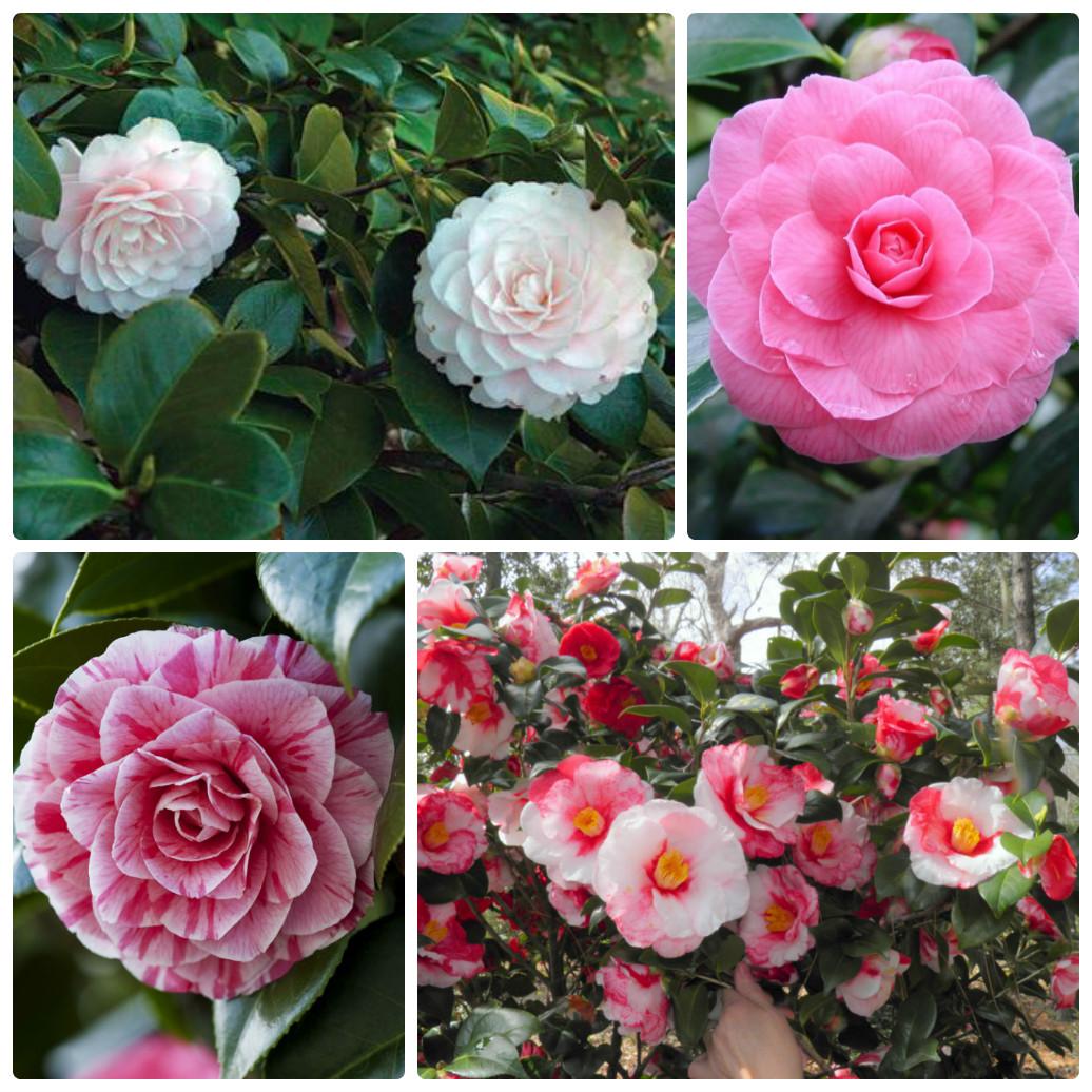 collage_camellia_japonica.jpg (351.66 Kb)