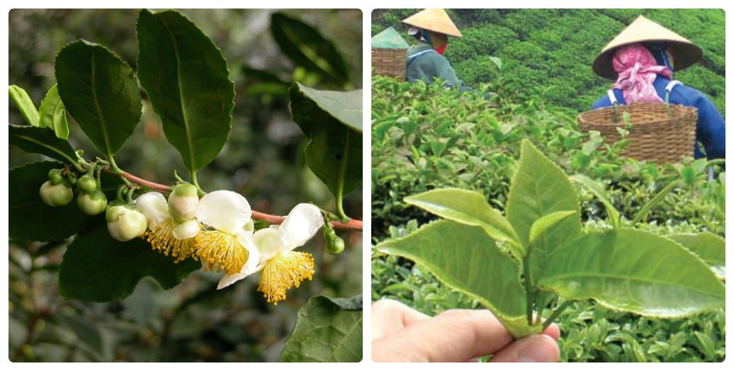 collage_camellia_sinensis.jpg (180.86 Kb)