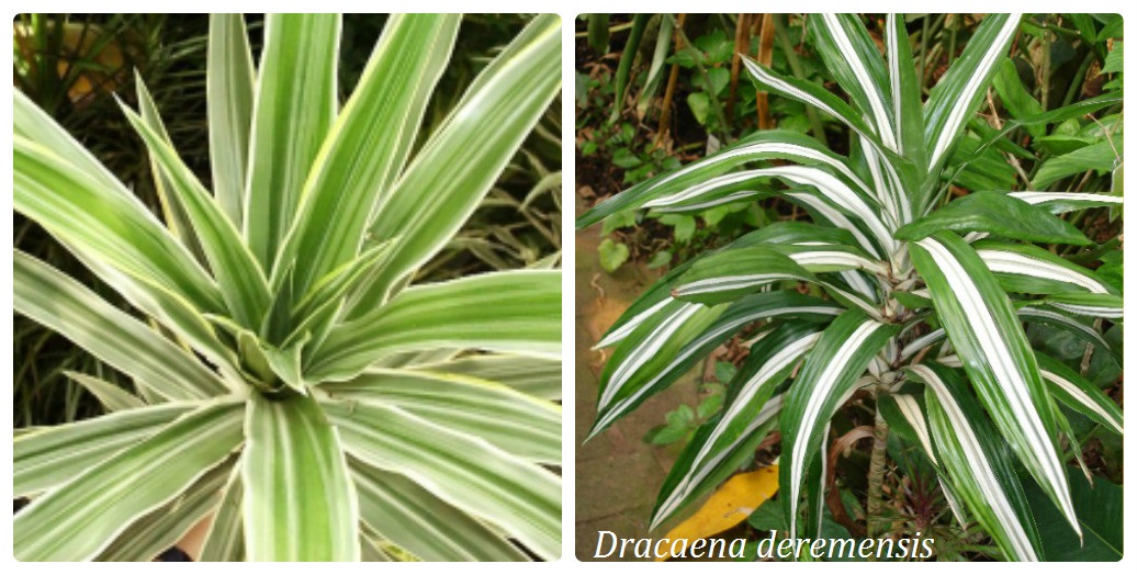 collage_dracena1.jpg (204.96 Kb)